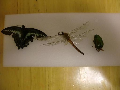 フジコン かんたん標本キットを使って昆虫標本作り3
