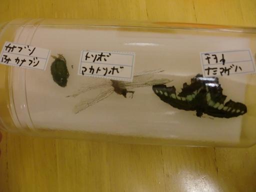 小1息子、夏休みの自由研究の昆虫の標本作り